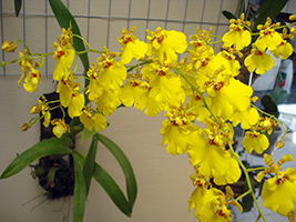 Sweet Sugar Oncidium